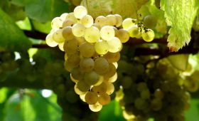 Albariño wine: the most famous grapes of Galicia